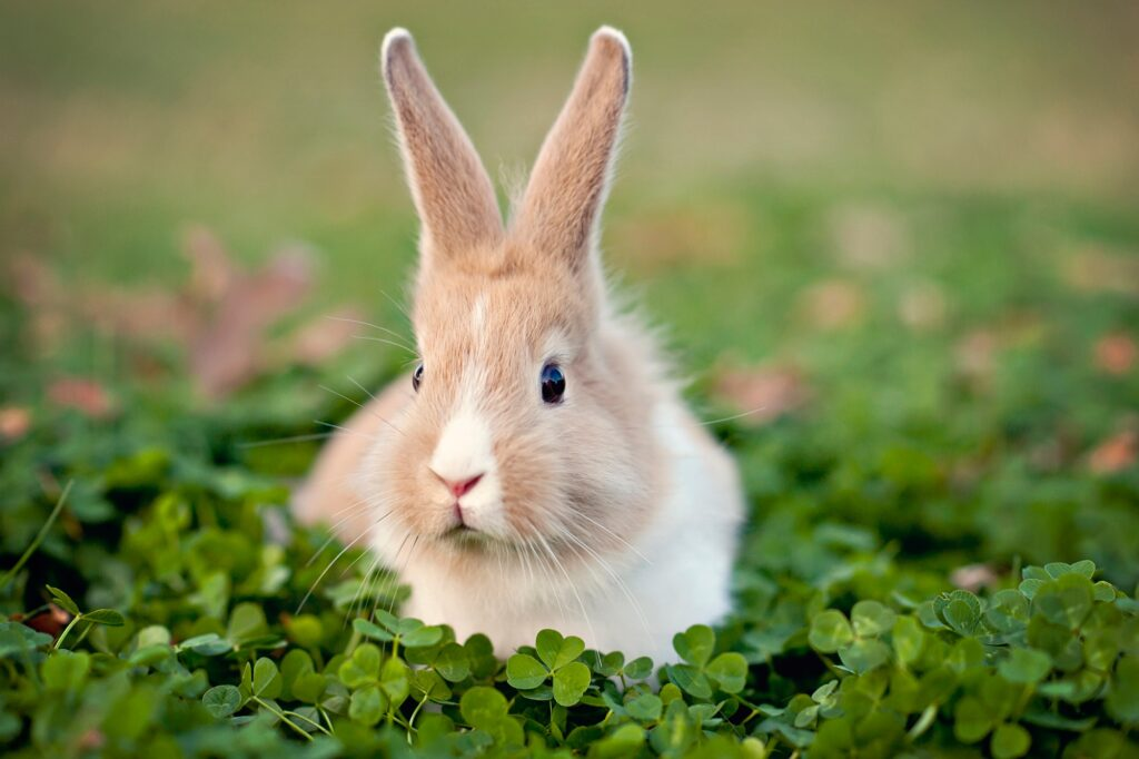 rabbit-Grooming